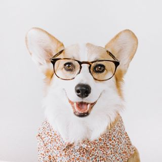 Willo the Corgi Profile Image