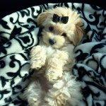 Lady Belle Biehn  Morkie Pup Profile Image