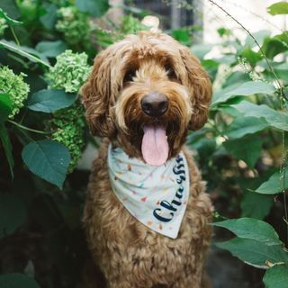 Charlie the Goldendoodle Profile Image