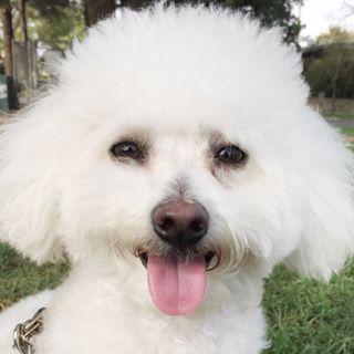 Mr. Milo The Maltipoo Profile Image