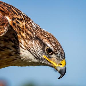 Talk aep   ferruginous hawk feature graphic 750x750