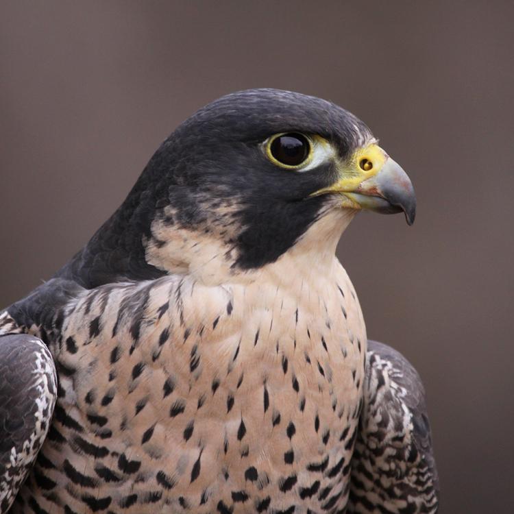 Talk aep   peregrine falcon feature graphic 750x750