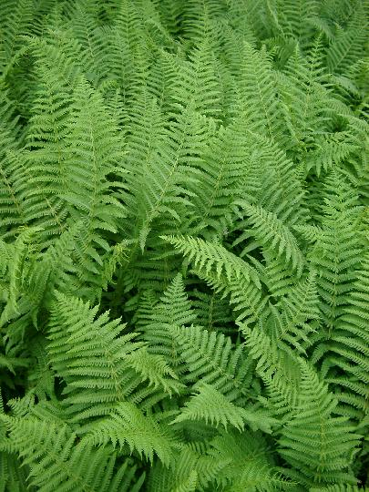 Green ferns3893