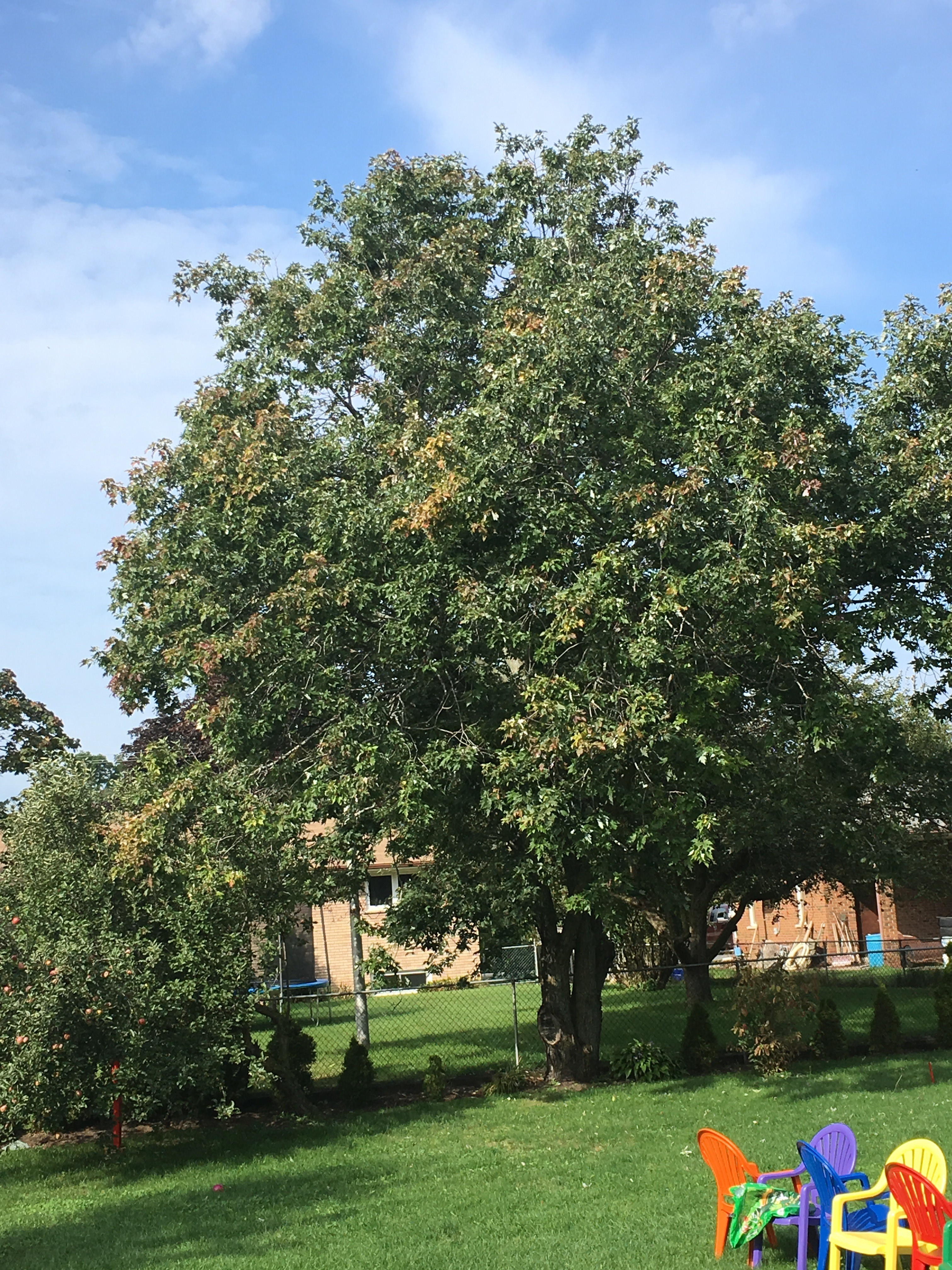 Backyard maple rotate