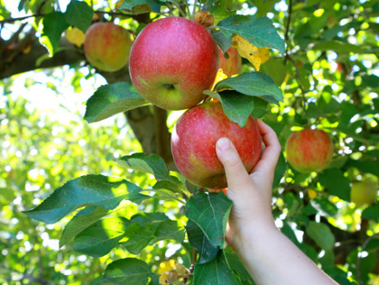 Applepicking4
