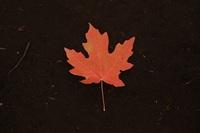 Maple leaf%28smaller%29