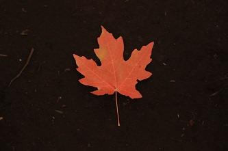Maple leaf%28smaller%29