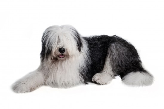 Old English Sheepdog (Bobtail)