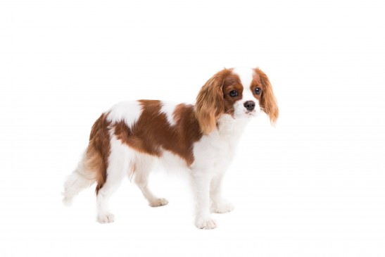 Épagneul Cavalier King Charles