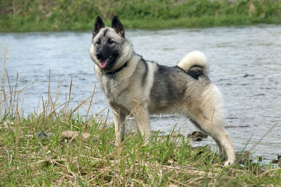 Elkhound Norvegien
