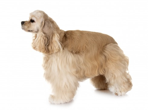 American Cockers Spaniel