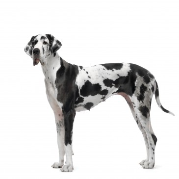 Great Dane (German Mastiff)