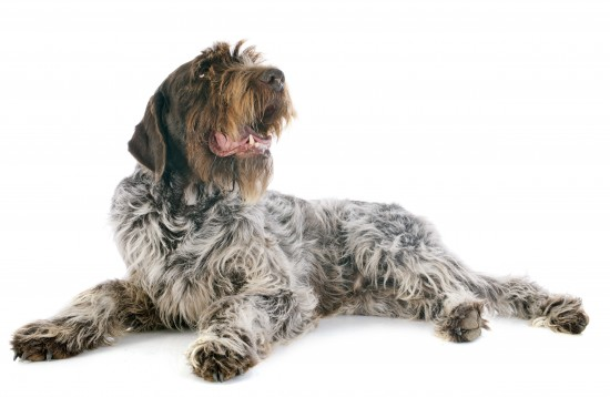 Wire Haired Pointing Griffon (Korthals)