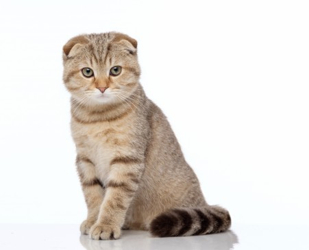 Liste De Chats De La Race Scottish Fold Eleveurs