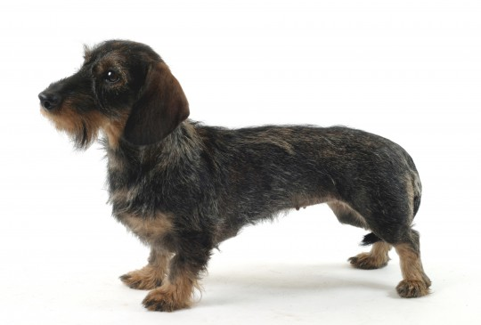 Standard Wire-haired Dachshund