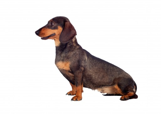 Standard Smooth Dachshund