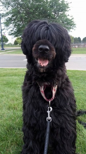 Mijoly Portuguese water dog Breeder
