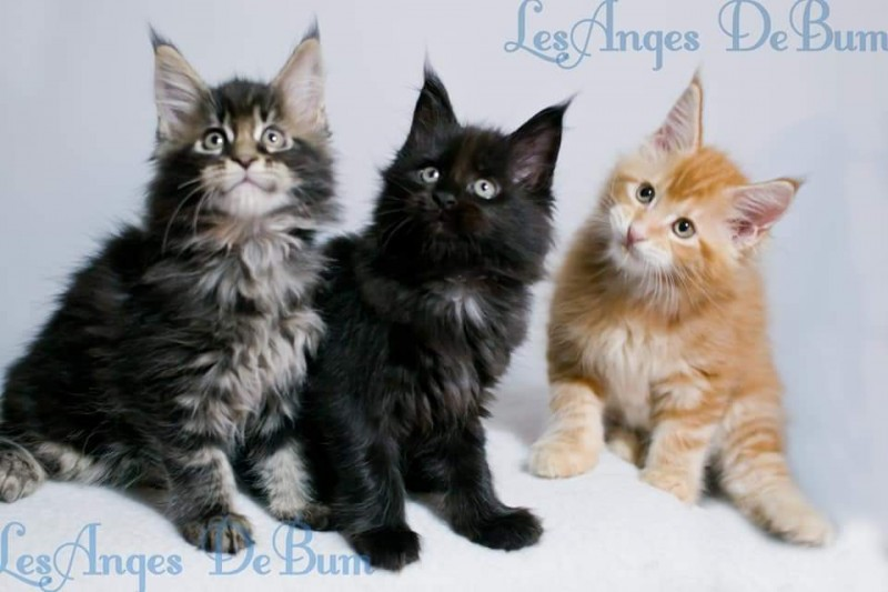 Maine Coon Les anges DeBum Cattery