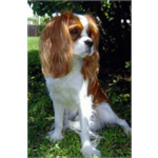 Élevage Cavalier King Charles Spaniel Falconcrest