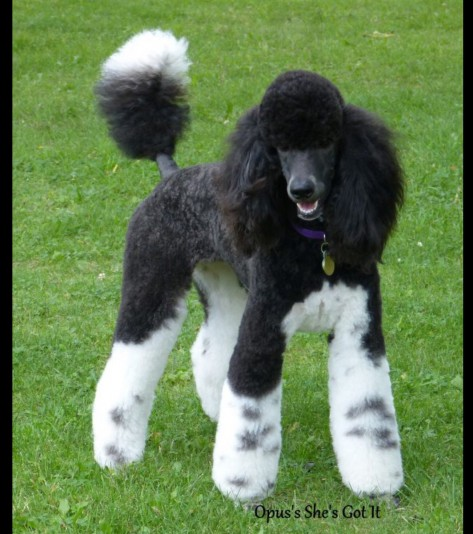 Élevage Caniche Royal (Grand Caniche) Opus poodles