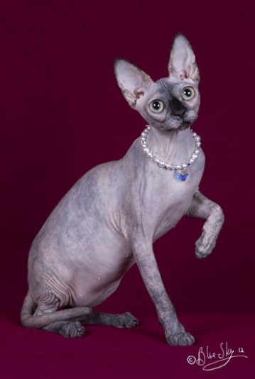Chatterie Sphynx et Rex Cornish de Chat-Elle
