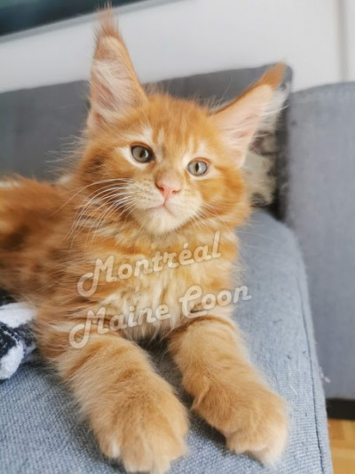 Montreal Mainecoon Cattery