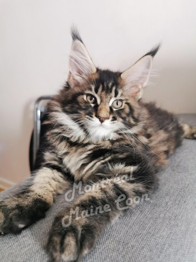 Chatterie Montreal Mainecoon