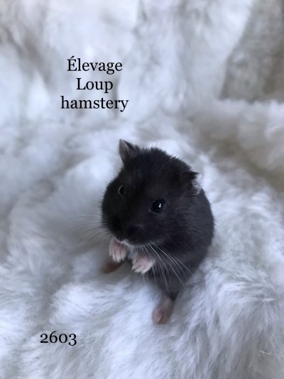 Élevage Loup Hamstery- hamsters syriens et nains