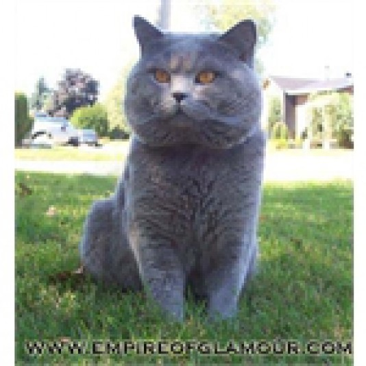 Chatterie British Shorthair Empire of Glamour Cattery