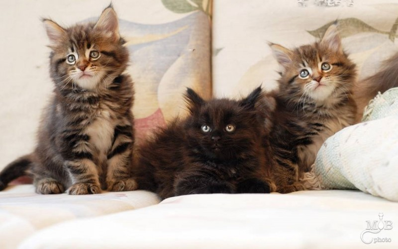 Chatsminou Maine Coon Cattery