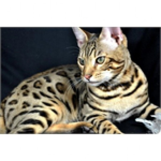 Chatterie Griffondor Bengal