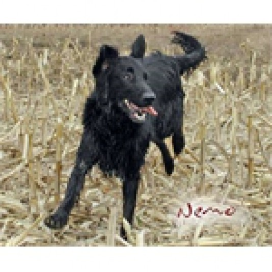Elevage Flat-Coated Retriever Fieldday Reg'd