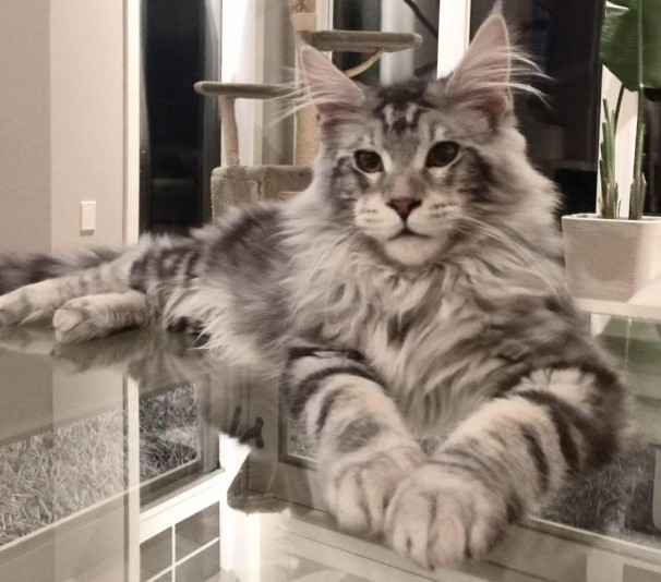 Chatterie de Maine Coon Maine Cool