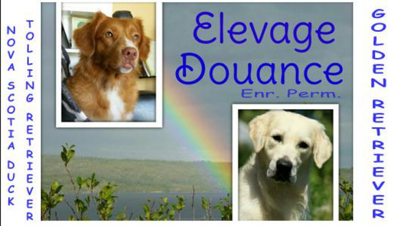 Élevage Golden-Retriever Douance