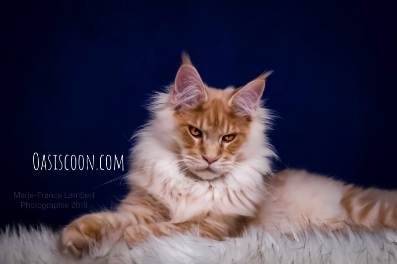 Chatterie Oasiscoon Maine Coon
