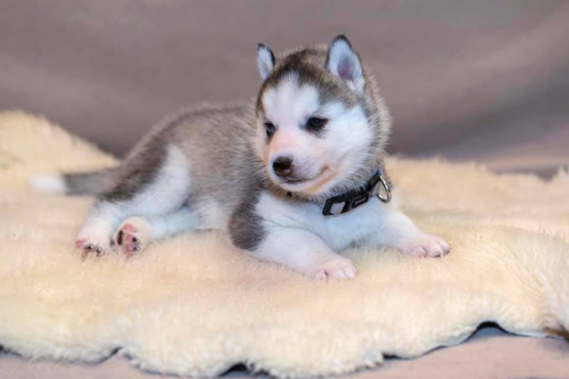 Élevage Husky Sibérien Magicdreams