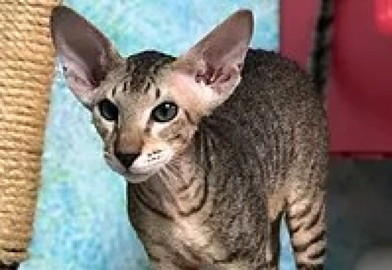 Chatterie Tandem Peterbald