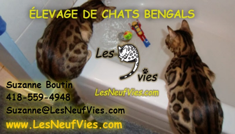 Cattery Les Neuf Vies Bengal