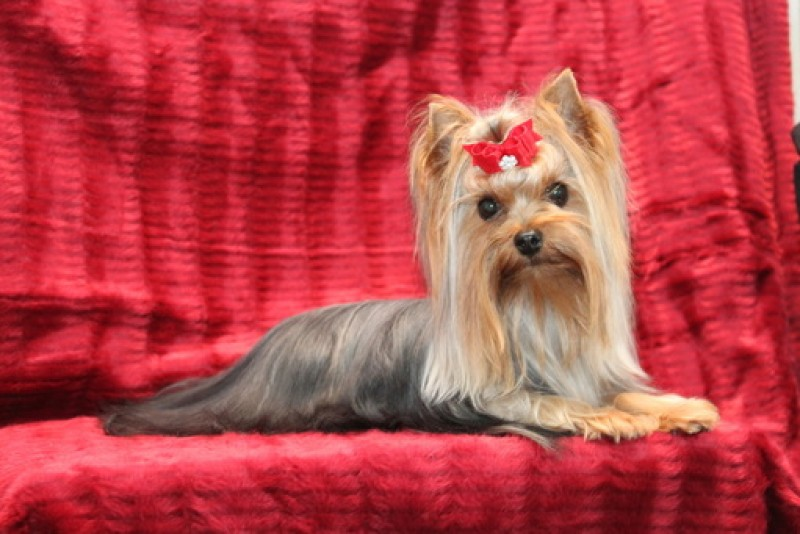 Élevage Linandy Yorkshire Terriers