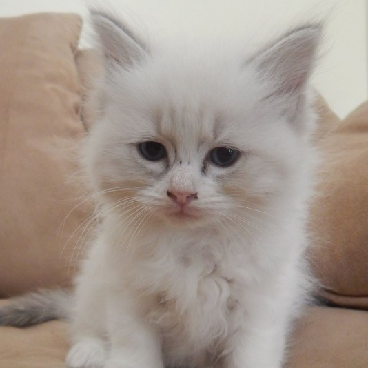 Chatmabelle Ragdoll Cattery