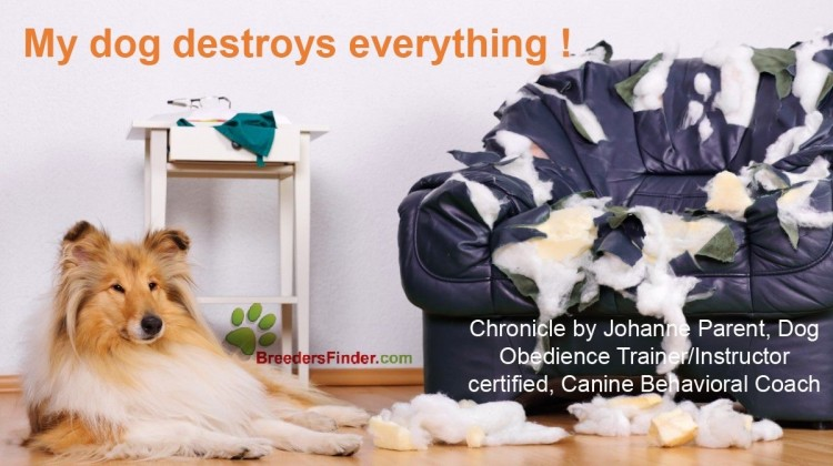My dog destroys everything !  How to correct his behavior ?             Chronicle by Johanne Parent, Dog Obedience Trainer/Instructor certified and Caninebehavioral coach