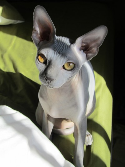 4 Sphynx Cattery