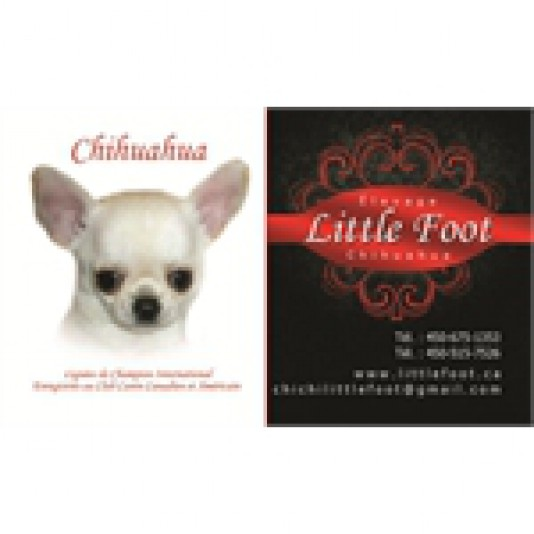 Élevage Little Foot Chihuahua