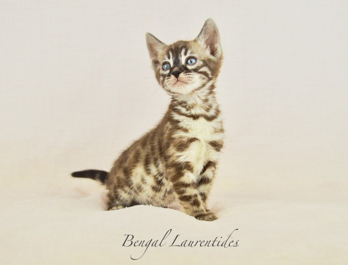 Chatterie Bengal Laurentides