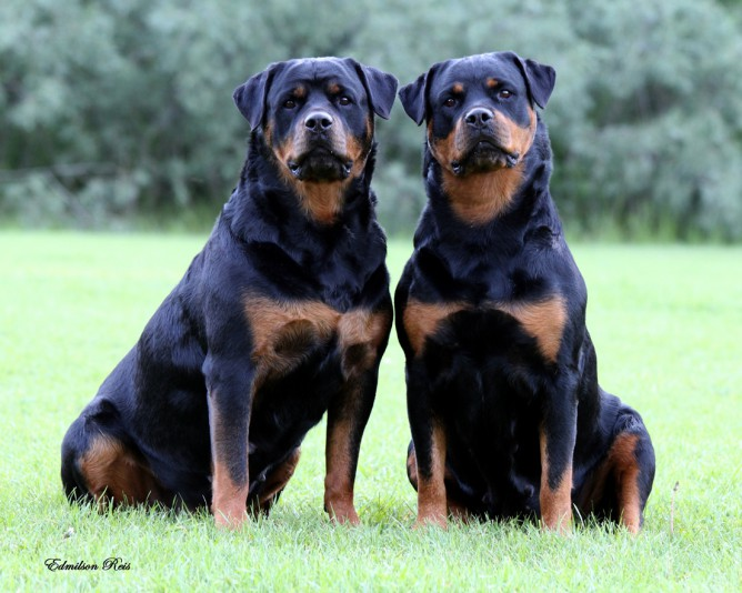 Rottweiler Breeders Heather Peters