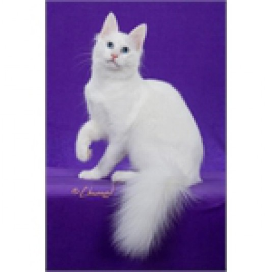 Chatterie Angora Turc M & D Beaudry Cattery