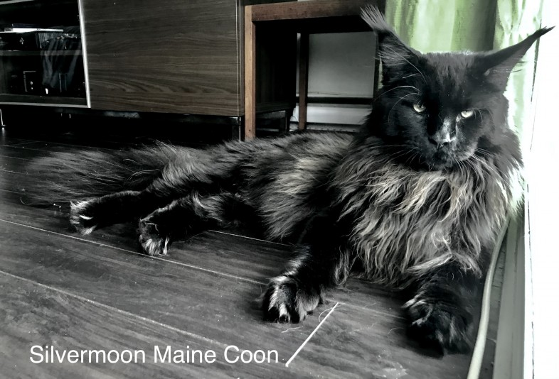 Chatterie Silvermoon Maine Coon