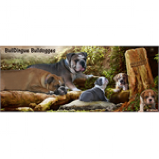 Élevage BullDingue Bulldogges - Olde English Bulldogge