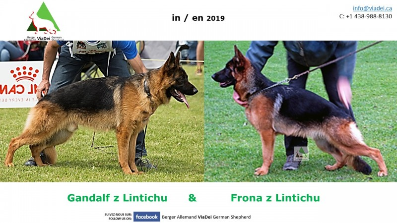 Berger allemand - German Shepherd - Octobre 2019 -Elevage Viadel
