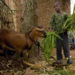 Links to Give goats to a family in Haiti this Christmas
